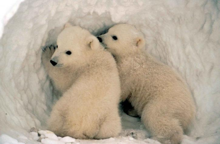 Cute little polar bear cubs in the snow.